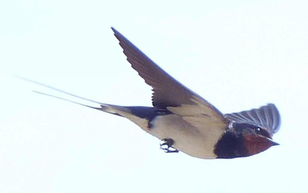 swallow.thumb.jpg.39ea8aecdabebc3e862a31